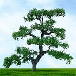 """6"""" Beech Tree"""