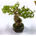 Bonsai by Carolyn Hayes  (30Wx 35Hmm)