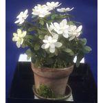 Azalea Flower by Artistic Florals (45mmH)