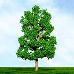 "6"" Sycamore Tree"